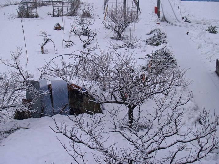 110106 梅の木にも雪.jpg