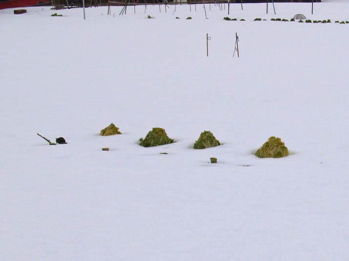 110124 雪に埋まった白菜.jpg