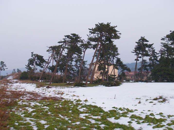 110204 防風林の雪被害.jpg