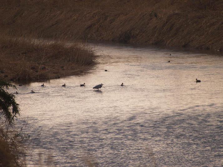 110209 佐陀川の野鳥.jpg