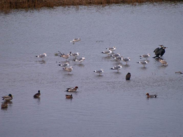 110211 佐陀川の野鳥.jpg