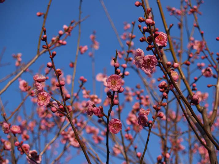 110220 青空と梅の花.jpg