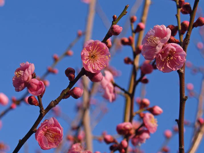 110301 梅の花.jpg
