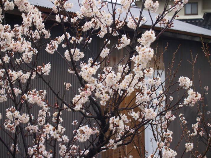 110322 撮影失敗の梅の花.jpg