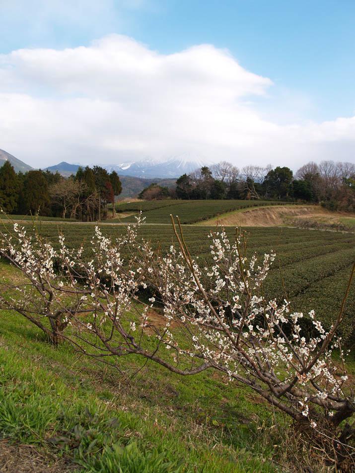110323 梅と茶畑と大山.jpg