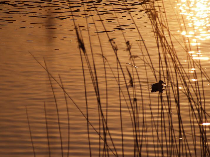 110325 夕日とススキと渡り鳥.jpg