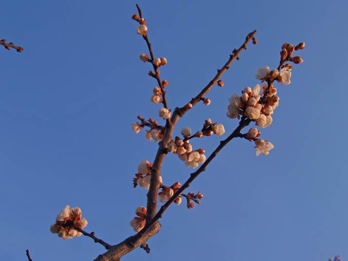 110328 食用梅の花.jpg