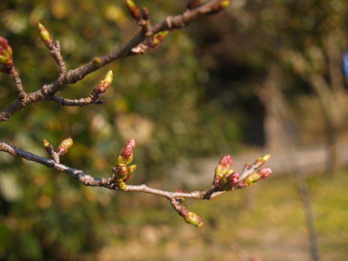 110330 桜のつぼみ.jpg