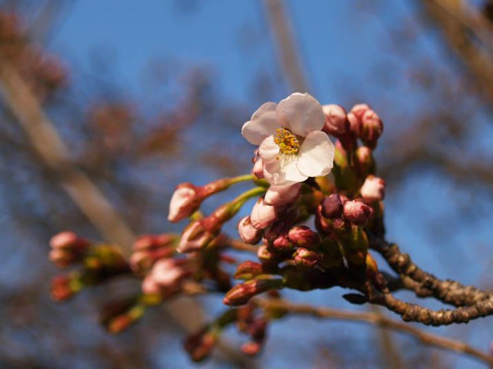 110401 桜の開花.jpg