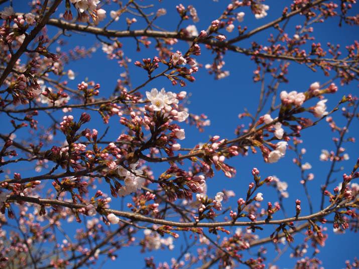 110403 今日の神社桜.jpg
