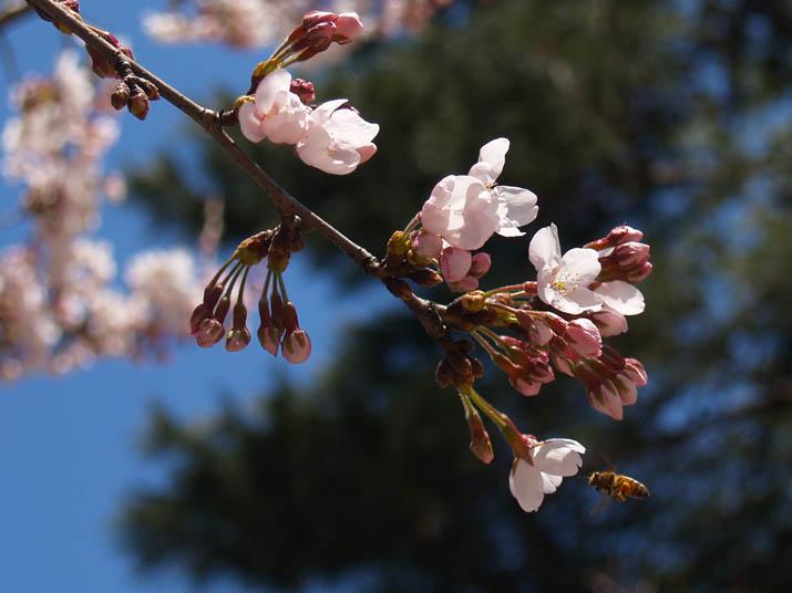 110406 桜とミツバチ.jpg