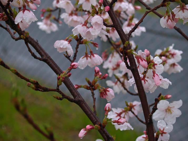 110408 雨の日の桜.jpg