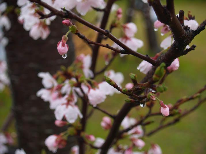 110408 桜の蕾ひとしずく.jpg
