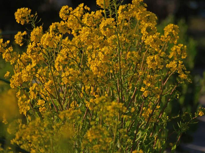 110411 黄色い菜の花.jpg