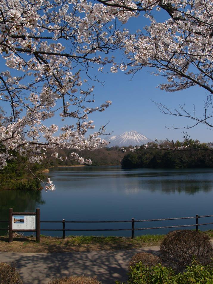 110412 岡成池と大山と桜.jpg
