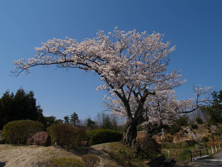 110412 岡成池にある桜の木.jpg