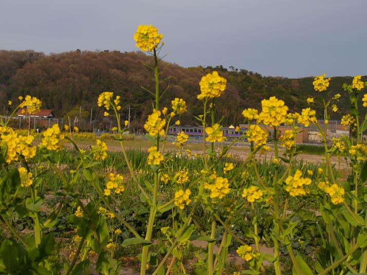 110417 菜の花と普通列車.jpg