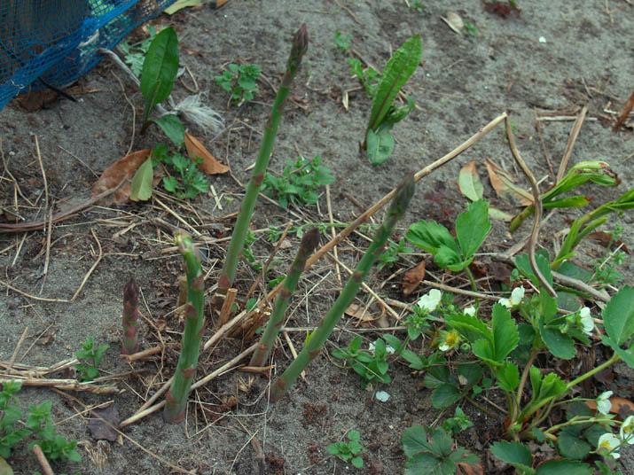 110426 アスパラとイチゴの花.jpg