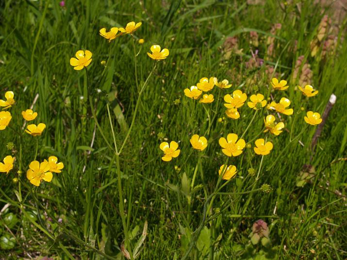 110505 黄色い花咲く野草.jpg