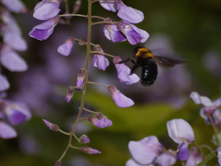 110507 藤の花とクマバチ.jpg
