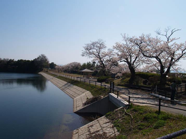 110511 桜が綺麗だった岡成池.jpg