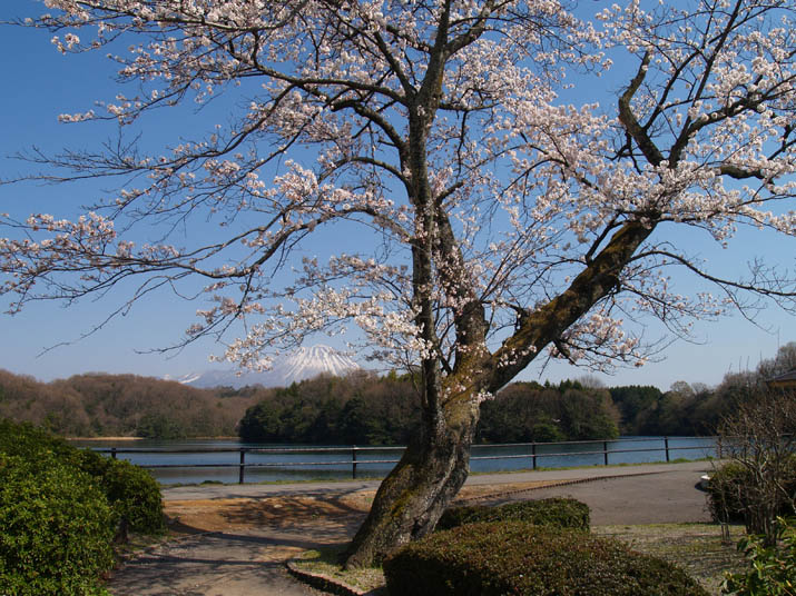 110511 岡成池とサクラの木.jpg