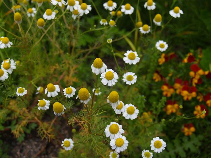 110512 雨に濡れる白くて黄色い花.jpg