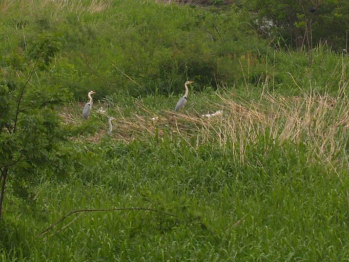 110516 河原のアオサギ.jpg
