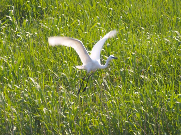 110518 河原から飛び立つ白鷺.jpg