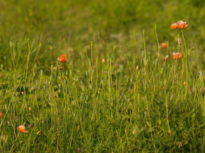 110520 海岸近くのひなげしの花.jpg