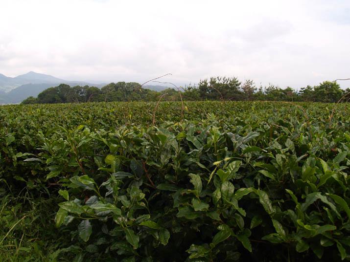 110611 壷瓶山のお茶畑.jpg