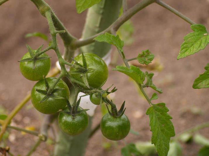110616 プチトマトの実.jpg