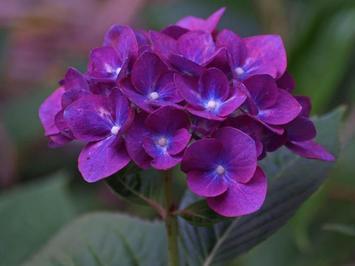 110620 紫色のあじさい.jpg