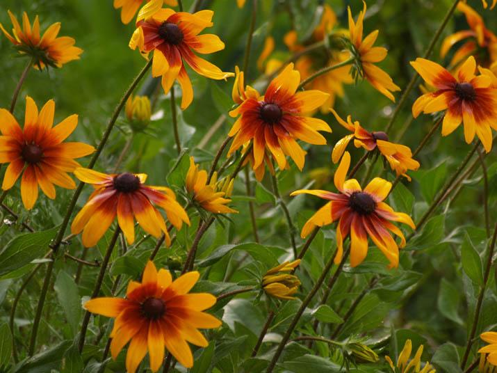 110624 オレンジ色の花.jpg