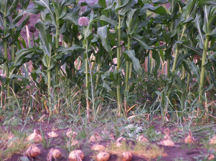 110624 大きく育ったトウモロコシ.jpg