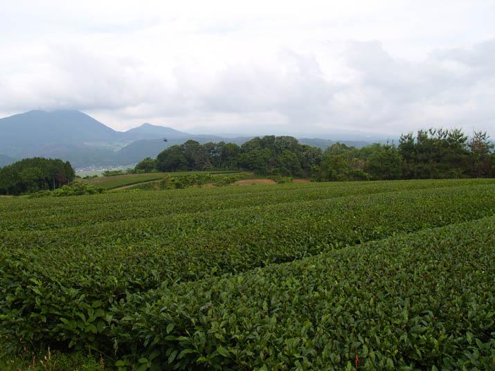 110628 壺瓶山の茶畑.jpg