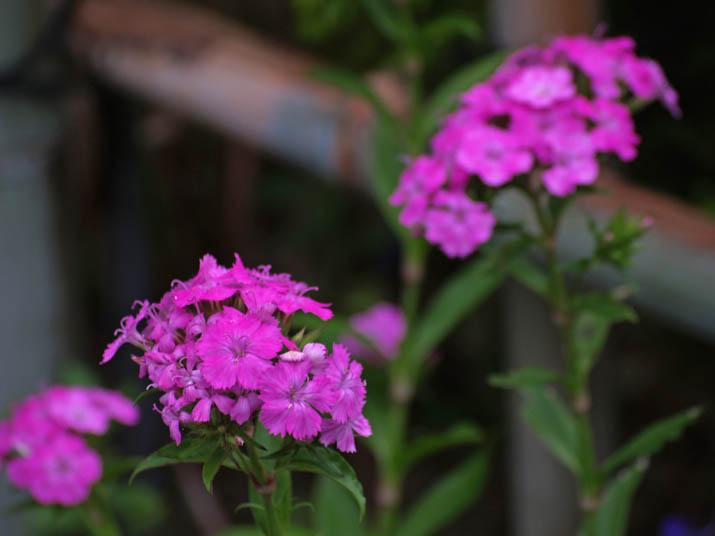 110630 ピンク色の花.jpg