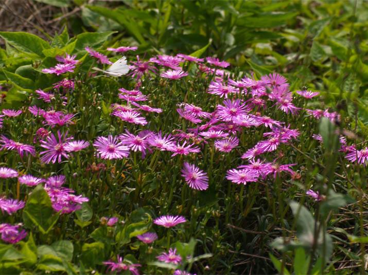 110707 花とモンシロチョウ.jpg