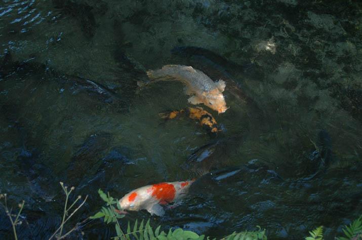 110729 大神山神社の鯉.jpg