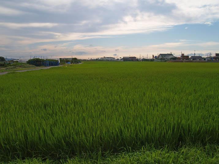 110812 稲の成長.jpg