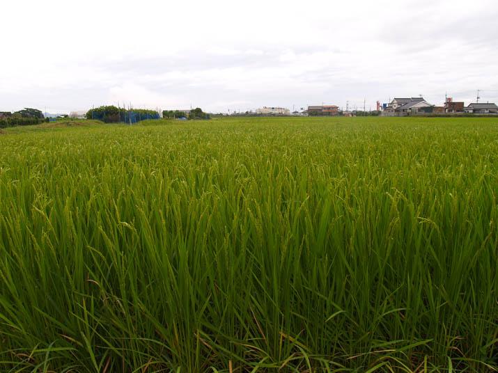 110822 頭を垂れる稲.jpg