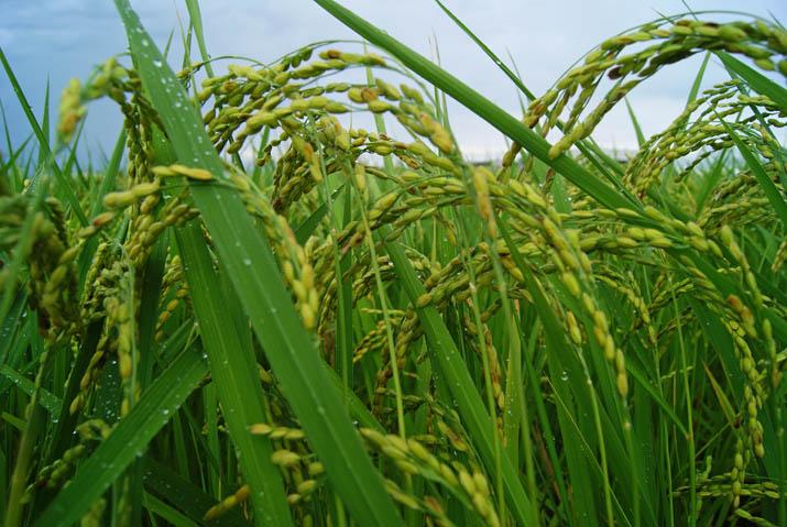 110901 頭を垂れる稲.jpg