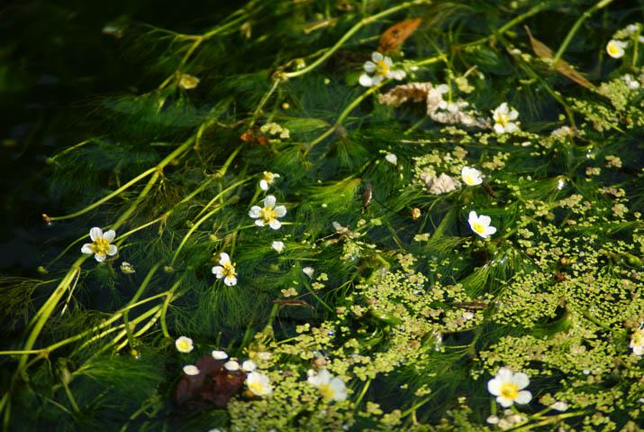 110903 梅花藻がたくさん・・.jpg