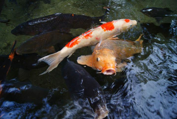 110905 大神山神社の鯉.jpg