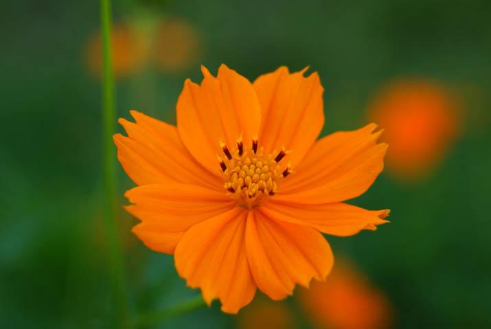 110910 オレンジ色のコスモス.jpg