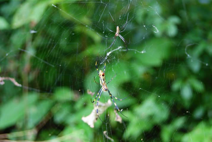 110916 雄と雌の蜘蛛.jpg