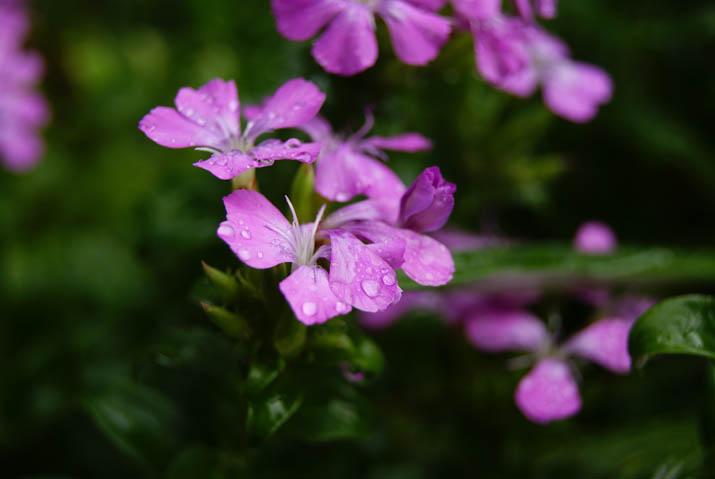 110921 雨に濡れるピンクの花.jpg
