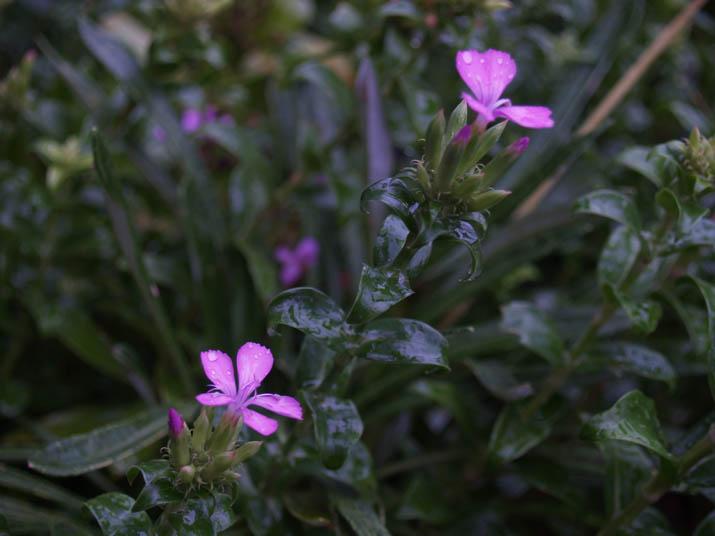 110921 ピンク色の小さな花.jpg