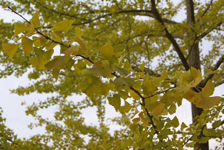 111029 淀江運動公園 イチョウの木.jpg
