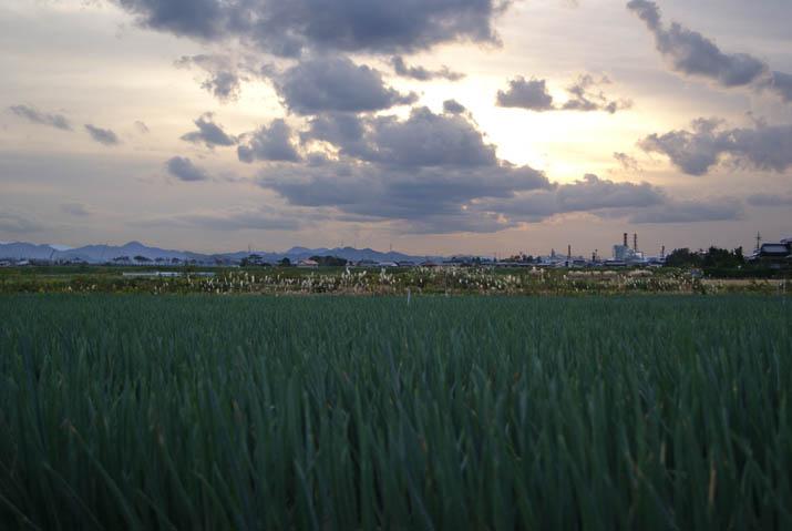 111109 ネギ畑と夕方の景色.jpg